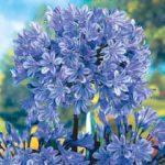Agapanthus 'Blue Giant'