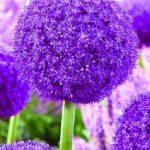 Allium Ambassador®