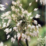 Allium carinat. ssp. pulchellum Album
