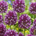 Allium Art® (Allium scorodoprasum)