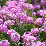 Aethionema armenum 'Warley Rose'