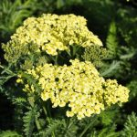 Achillea millefolium 'Sunny Seduction' ®