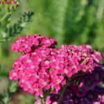 Achillea millefolium 'Saucy Seduction'