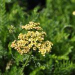 Achillea millefolium 'Tricolor' ®