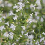 Calamintha nepeta 'Weißer Riese'