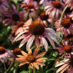 Echinacea purpurea 'Sundown' ®